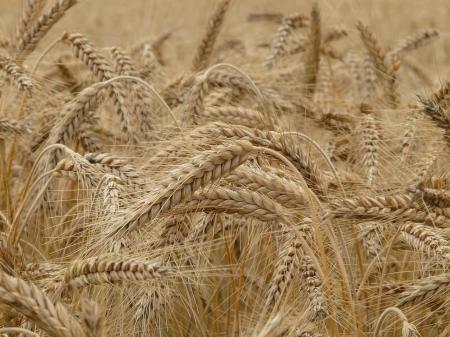 wheat-8762_1280